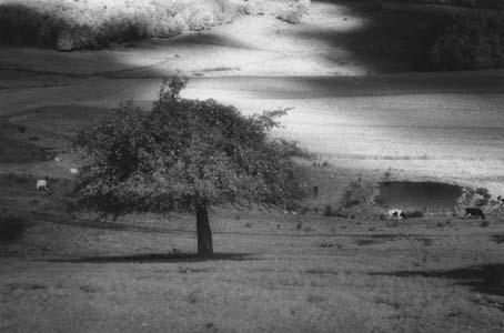 img_earth-sky_tree-cows